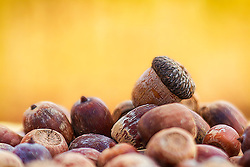 Just a pile of acorns from the tree