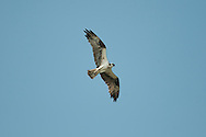 Osprey flying overhead with wings fully extended.