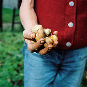 A Romanian peasant farmer holds a handful of walnuts, Viscri, Saxon Transylvania, Romania.