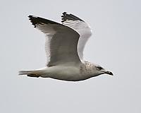 Ring-billed Gull (Larus delawarensis). Black Point Wildlife Drive. Merritt Island National Wildlife Refuge. Image taken with a Nikon D3s camera and 200-400 mm f/4 VR lens.