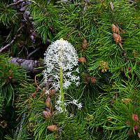 Wild flowers'13 Bear Grass 1