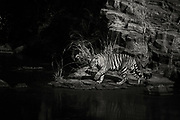 Wild Bengal tiger walking over rocks along the water, black and white, Ranthambore National Park, Rajasthan, India