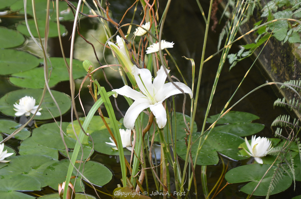 The white iris growing alongside the lotus and other water plants in the meditation sanctuary at Omega Institute, Rhinebeck, NY