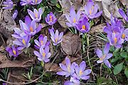 Krokus flowers.
