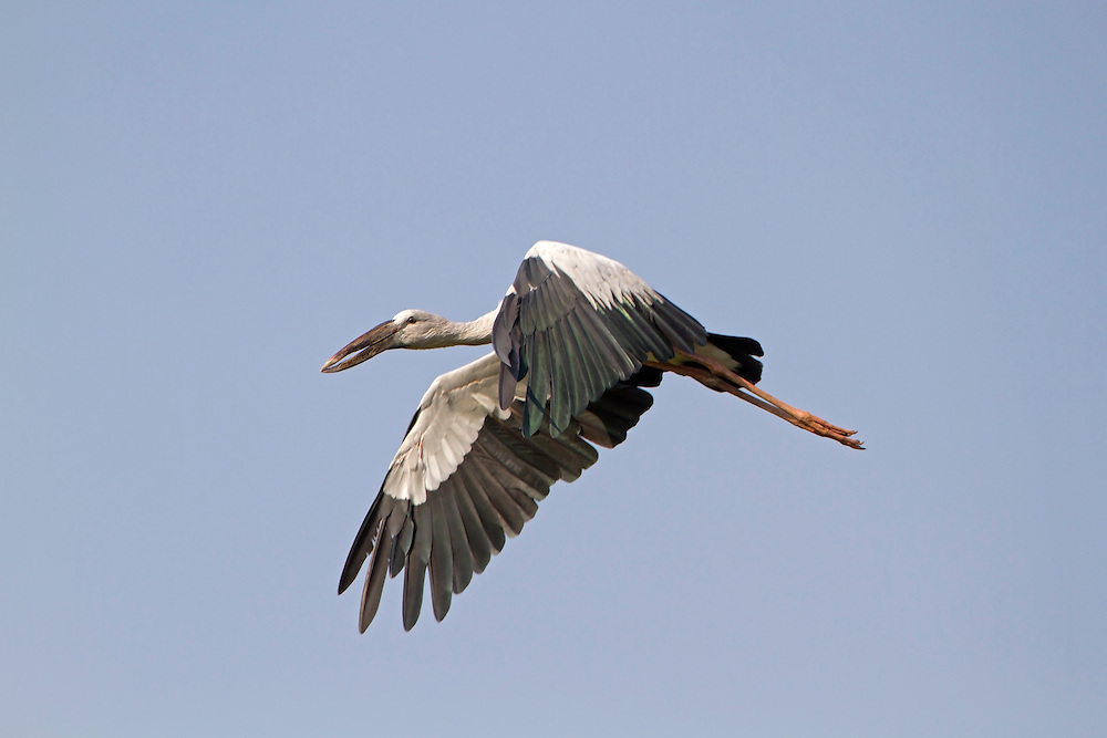 Open-billed Stork -Anastomus oscitans
