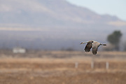 Photograph of Sandhill Cranes at Whitewater Draw Wildlife Area AZ