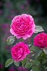 Rosa 'Noble Antony' syn.'Ausway'
