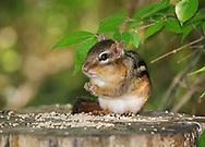 A Very Cute Eastern Chipmunk Dining On Bird Seed, Tamias striatus