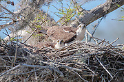 A pair of Osprey, Pandion haliaetus, guards their nest on Blue Cypress Lake, located in Indian River County, Florida, United States.