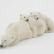 Polar Bear (Ursus maritimus) cubs of the year waiting patiently for the ice to freeze near their mother at Cape Churchill, Manitoba, Canada.