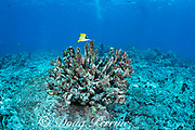 a longnose butterflyfish, Forcipiger longirostris, forages in the algae growing on the skeleton of an antler coral, Pocillopora eydouxi, that bleached and died during the summer 2015 marine heat wave; a small coral recruit inside the branches of the dead coral has bleached in the summer 2019 heat wave, Kohanaiki, North Kona Coast, Hawaii Island ( the Big Island ) Hawaii, USA ( Central Pacific )