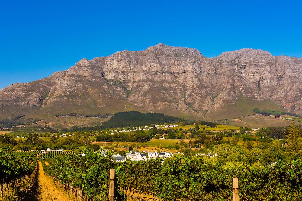 Vineyards during harvest time at Kleine Zalze Wines (De Zalze Golf Club in background), Stellenbosch, Cape Winelands, South Africa.