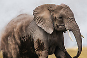 An elephant  (Loxodonta africana) dramatically dusting its body for sun and insect protection, ,Amboseli, Kenya, Africa