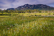 Wildflowers in the summer at Taylor Creek, South Lake Tahoe, California