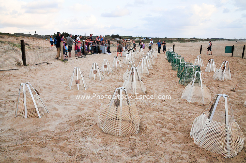 Israel, Atlit, Volunteers release green turtles, Chelonia mydas, after hatching for their first voyage to the Mediterranean Sea. Special markings mark the egg deposit sites