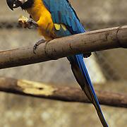 Rescued blue-green parrot in animal sanctuary in Banos, Ecuador.