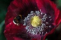Lensbaby Poppy Pollination Bloom Macro Series #1
