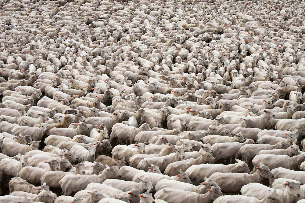 Sheep (hoggets-one year olds) after shearing. (Clippies)<br /> Port Howard. Northern end of West Falkland. FALKLAND ISLANDS.<br /> This is the largest privately owned farm in the Falkland Islands with an area of 200,000 acres and over 40,000 sheep. The farm is owned by the Myles brothers and the settlement houses six shepherds and their families along with some retired farm workers.