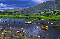 Golden retriever resting in a alpine tarn.  Mount Evens Wilderness, Colorado.