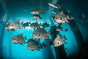 Atlantic Spadefish, Chaetodipterus faber, school underneath the Blue Heron Bridge in the Lake Worth Lagoon, Singer Island, Florida, USA