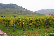 vineyard domaine faller weinbach kaysersberg alsace france