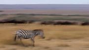 Zebra and wildebeests during the annual great migration in Maasai Mara, Kenya.