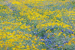 Roadside wildflowers in Hill Country north of Mason, Texas USA.