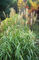 Miscanthus 'Silberfeder' syn. Miscanthus sinensis 'Silver Feather'