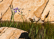 A micro environment flourishes in a crevace wetland cradled in a granite slope.
