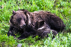 A mother grizzly bear shares a moment with her cub in woods of Northwest Wyoming
