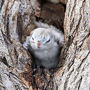 This is a Japanese dwarf flying squirrel (Pteromys volans orii) shaking itself off at the entrance of its nest.
