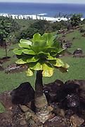 Alula plant, Limahuli Gardens, Haena, Kauai, Hawaii<br />