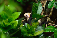 A juvenile white-faced capuchin (Cebus capucinus) looks up at the camera while being groomed by another monkey in Manuel Antonio National Park, Costa Rica.