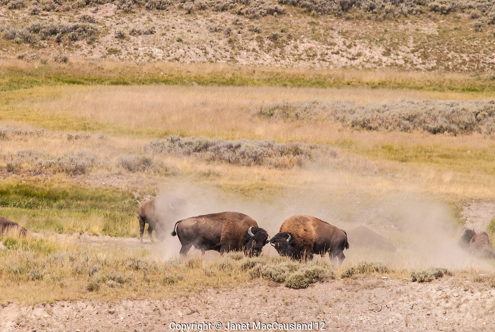 The dirt flies as two bullish American Bison clash in the prairie of Yellowstone National Park. The American Bison is the National Mammal of the United States