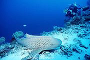 underwater photographer and zebra shark (leopard shark), Stegostoma fasciatum, Layang Layang Atoll, Malaysia ( South China Sea, Western Pacific Ocean )