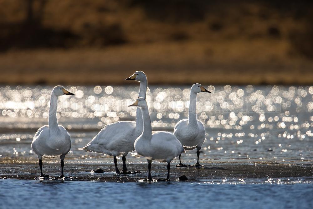 Swans on ice   Svaner på is