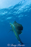 Atlantic sailfish, Istiophorus albicans, eating Spanish sardine (aka gilt sardine, pilchard, or round sardinella ), Sardinella aurita, off Yucatan Peninsula, Mexico ( Caribbean Sea )