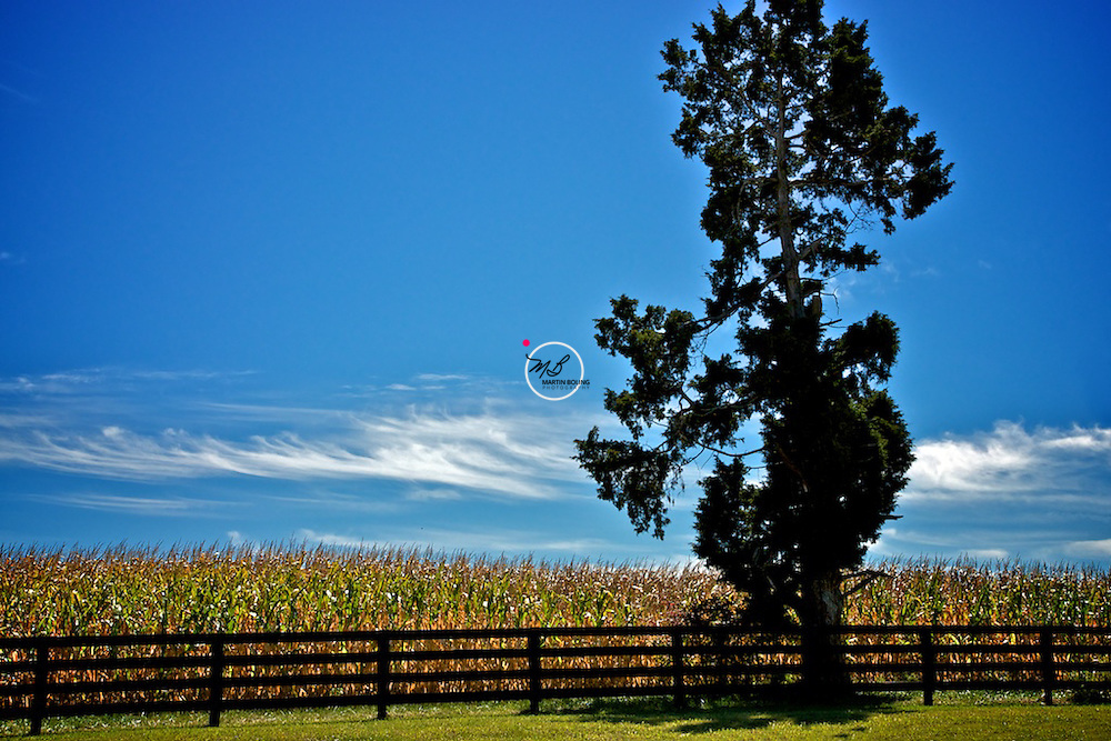 Corn Field, Tree, Crestwood, Kentucky, Stock Photograph