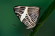 Dirce Beauty, Butterfly, Colobura dirce,  Nymphalidae, Central America and northern South America, Mosaic or Zebra Mosaic, rainforest, patterned underside of wings, stripes, black and white colours