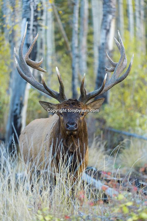 bull elk head on looking
