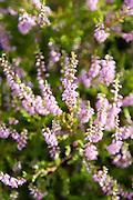 Heather - Ling (Calluna vulgaris) below Cribs Hill by the River Tweed, Scottish Borders, Scotland