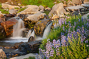 Blooming Silky Lupine (Lupinus sericeus) lines the banks of Edith Creek, located in the Paradise area of Mount Rainier National Park in Washington state. The Paradise area of the national park is known for its stunning displays of summer wildflowers.
