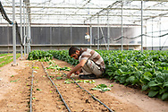 A farm worker picks bok choy early in the morning, at The Sahara Forest Project on the outskirts of Aqaba, on Jordan's southern Red Sea coastline. The farm uses desalinated sea water and greenhouses to sustainably farm crops in land that was once aris desert.