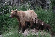Bear 402 seen with three of her four cubs near the Brooks River in Katmai National Park, Alaska.