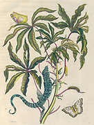 Plant and butterfly from Metamorphosis insectorum Surinamensium (Surinam insects) a hand coloured 18th century Book by Maria Sibylla Merian published in Amsterdam in 1719