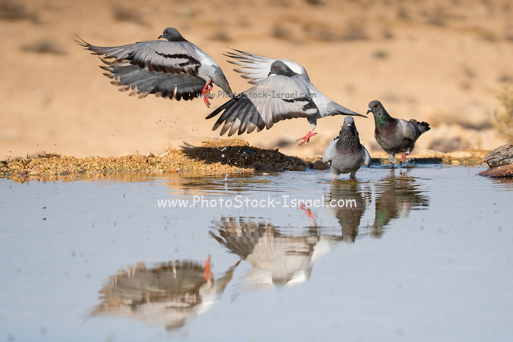 Rock pigeon (Columba livia). This bird is found in Eurasia and North Africa. It is especially common in urban areas, where it is sometimes considered to be a pest. Photographed by a water pool in the negev Desert, Israel in June