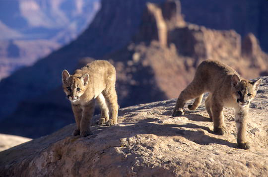 Mountain Lion or Cougar, (Felis concolor) Cubs in canyon lands of Utah. Captive Animal.