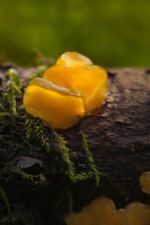 Young Yellow Brain, Tremella Mesenterica  detail