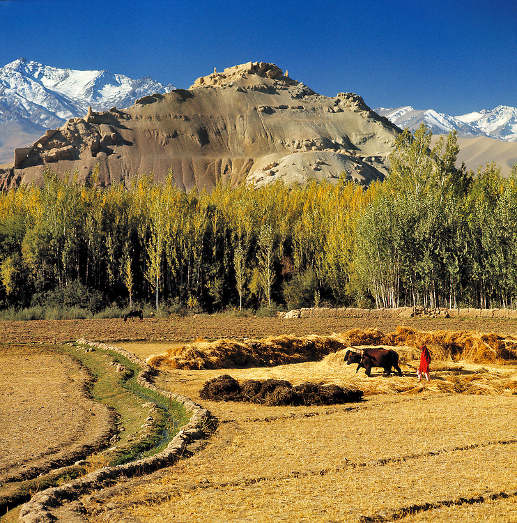 Farmers and their oxen thresh grain beneath the Hindu Kush Mountain Range in the Bamian Valley of northern Afghanistan.
