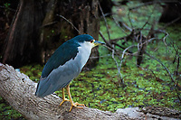 The black-crowned night heron is one of the most elusive species of heron in North America, and can be found throughout most of the world on every continent except Australia and Antarctica. Active primarily at night and nearly invisible during the day, these ambush hunters fish the water's edge for fish, reptiles, insects, crustaceans, mussels, clams, small rodents and anything else they can overpower. This one was found stalking its prey in the early evening in Fort Myers, Florida.
